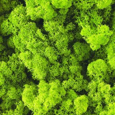 Reindeer Moss 1.1lbs Bright Green